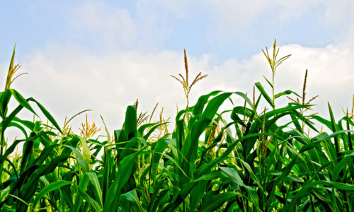 What This Techie Learned from the Inside of a Cornfield