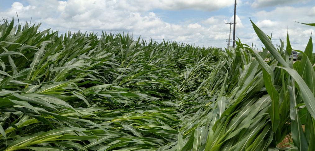 Storm Damage to Corn